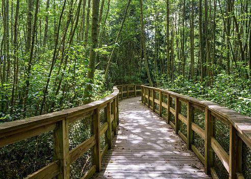 Forest wood boardwalk hike walking through tall trees, near Seattle, Washington