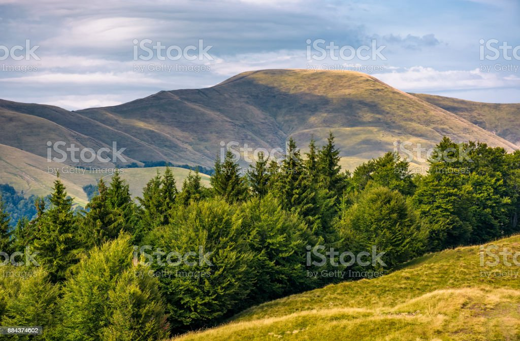 forested hillside of Svydovets mountain ridge stock photo