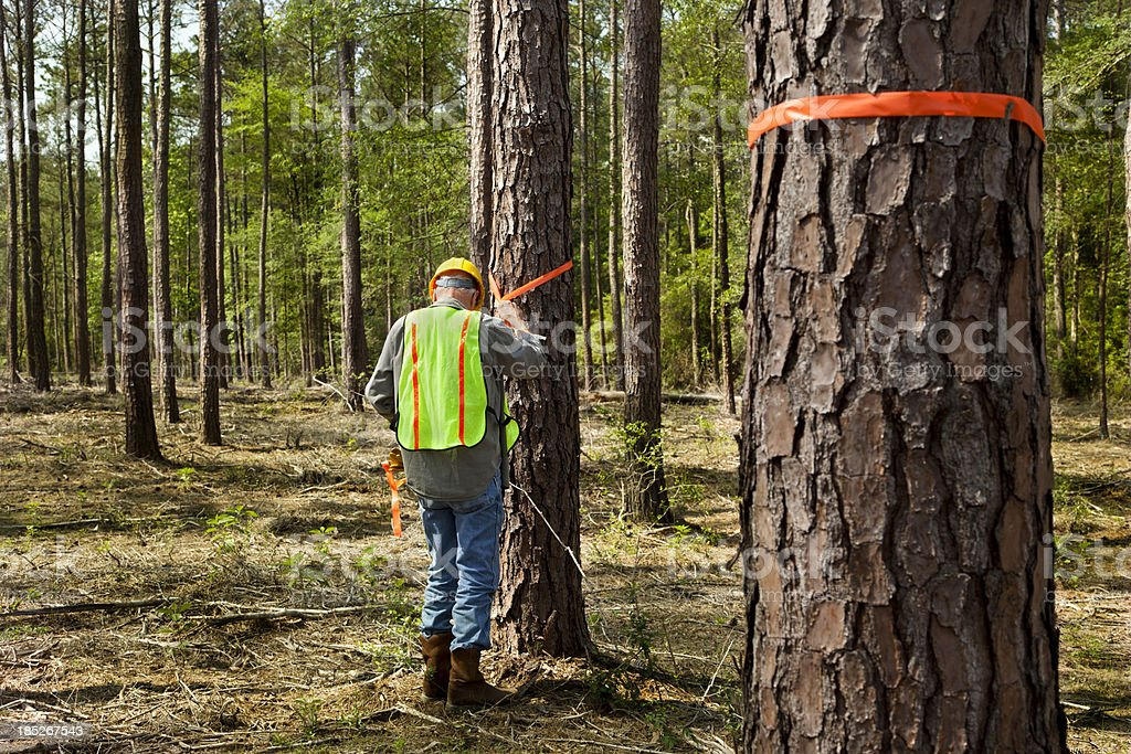 Forester or builder marking trees with orange ribbon. royalty-free stock photo