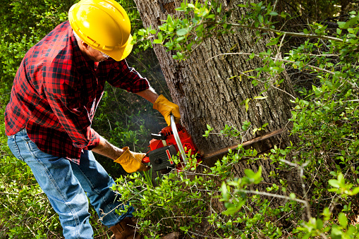 istock Forester or lumberjack cutting down trees with chainsaw. 499518747