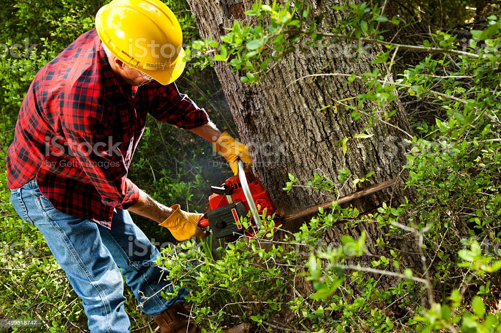Forester or lumberjack cutting down trees with chainsaw. stock photo