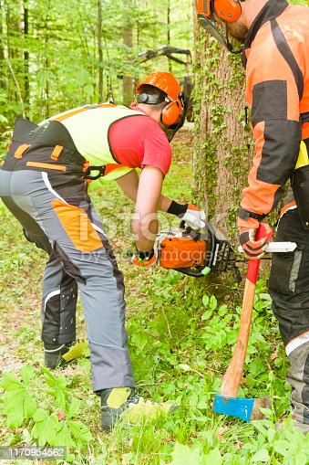 Forestry manager supervise a trainee which is cutting his first tree