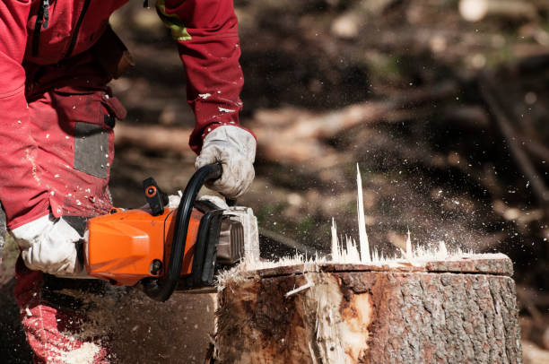 Forestry worker cutting the stump of a spruce tree with chainsaw stock photo