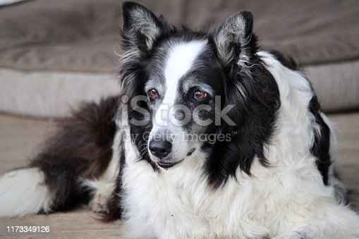 Old black and white dog on porch.  Closeup.  Portrait.  Countryside