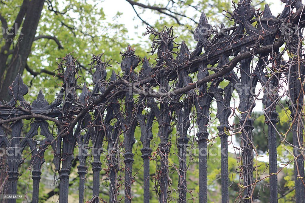 Forged fence braided with wild grape in early spring