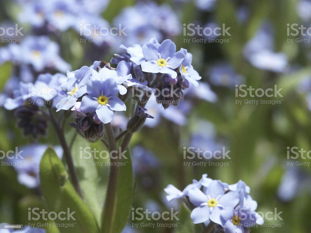 Forger-Me-nie kwiaty zbiór zdjęć royalty-free
