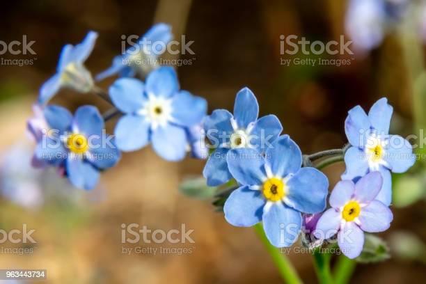 Zapomnij O Mnie Nie Kwitnie - zdjęcia stockowe i więcej obrazów Botanika
