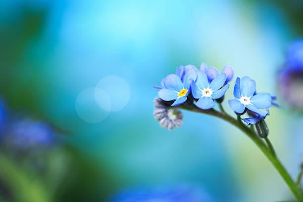 não s'esqueça-flor - miosótis - fotografias e filmes do acervo