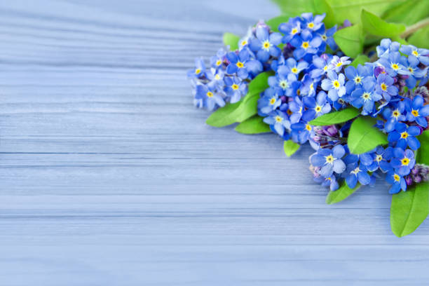 me esqueça, não flores e fundo azul - miosótis - fotografias e filmes do acervo