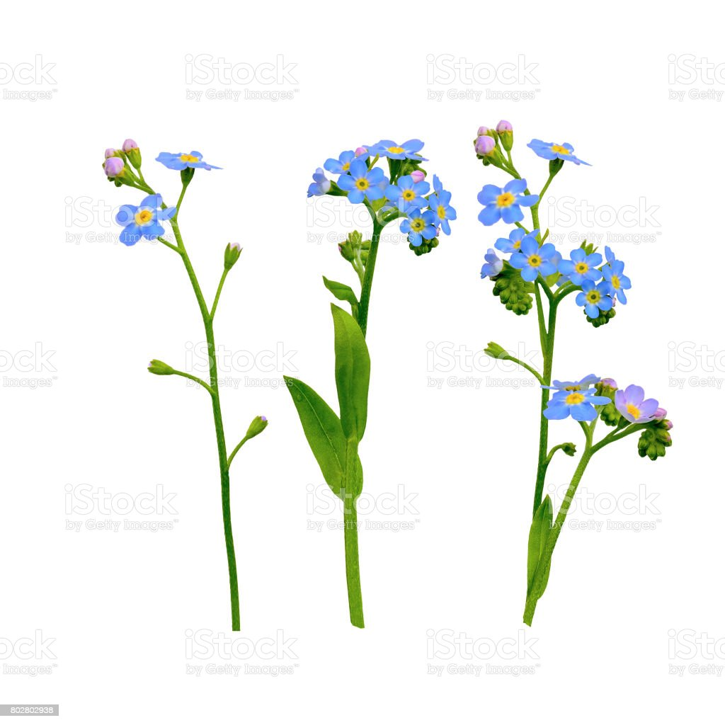 Forget Me Not Flowers Isolated On White Stock Photo More Pictures