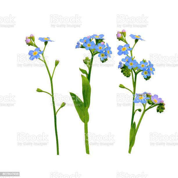 Forget me not flowers isolated on white picture id802802938?b=1&k=6&m=802802938&s=612x612&h=69z7l fldhva3arm4w1zythcgv0nn uryyj5a zubpy=