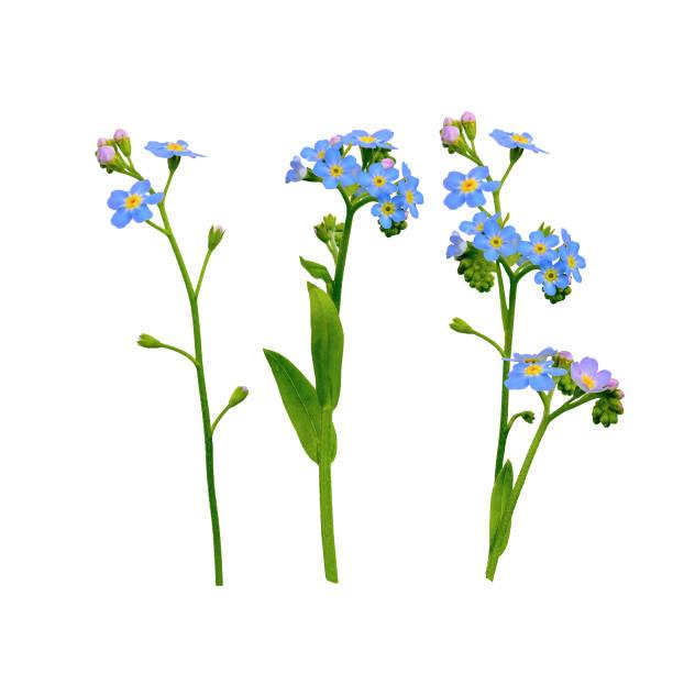 me esquecer não flores isoladas em branco - miosótis - fotografias e filmes do acervo