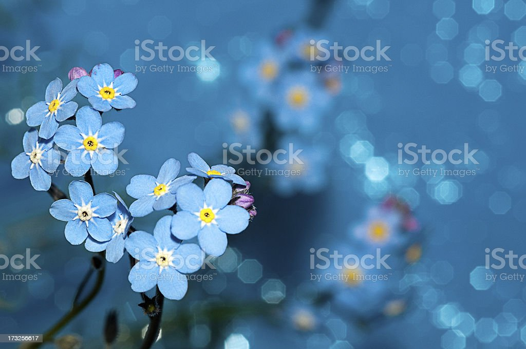 Forget me not flowers on a blue background stock photo