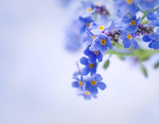 me não s'esqueça de flores - miosótis - fotografias e filmes do acervo