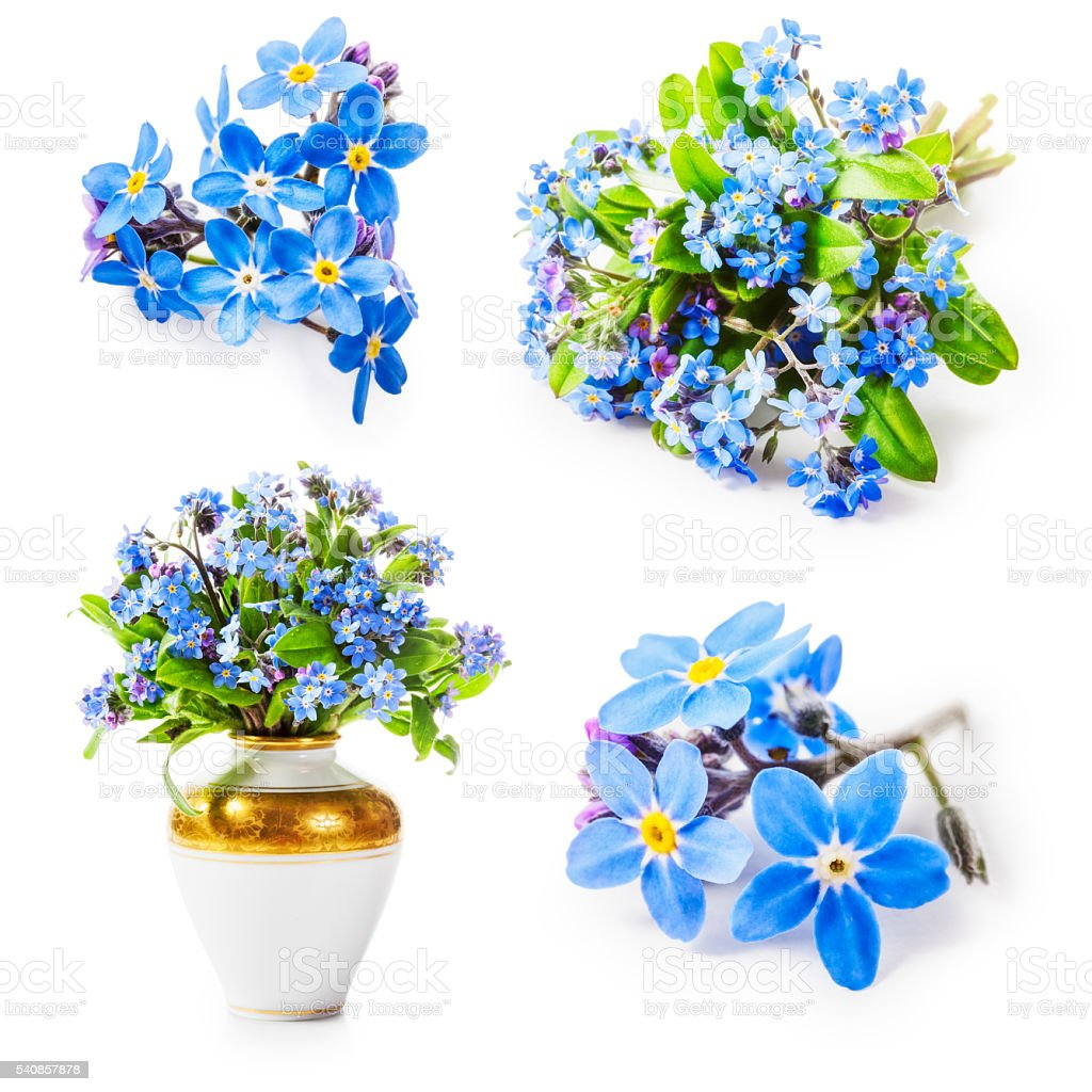 Forget me not flowers stock photo