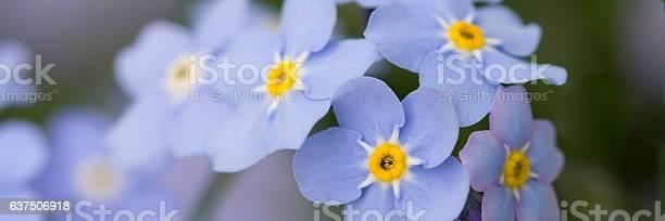 Forget me not flowers picture id637506918?b=1&k=6&m=637506918&s=612x612&h= ttltnpe8klgj7s 3c 8iqfxfrjb8dpxma8z5p83dju=