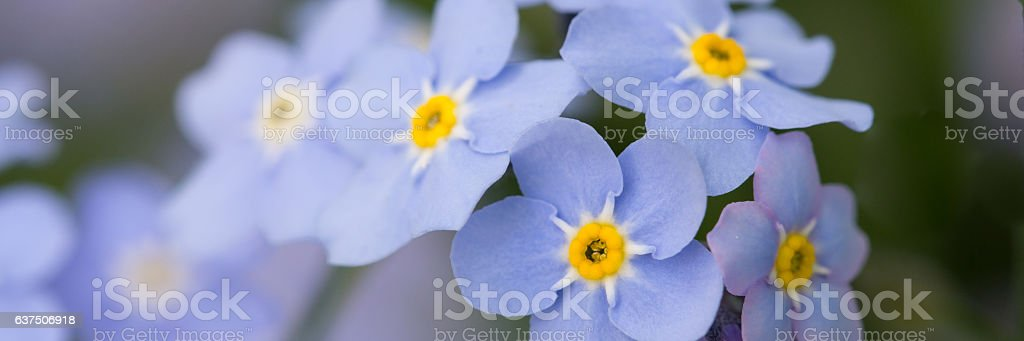 Forget me not flowers foto