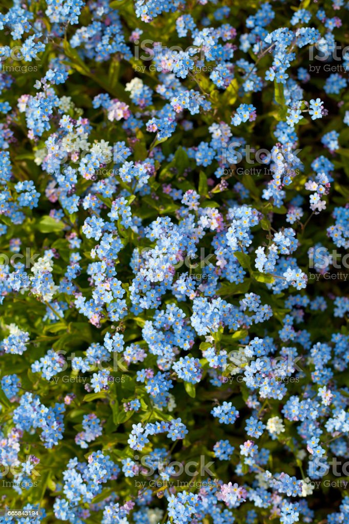 Forget me not spring stock photo