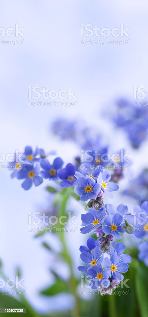 Forget Me Not Vertical royalty-free stock photo