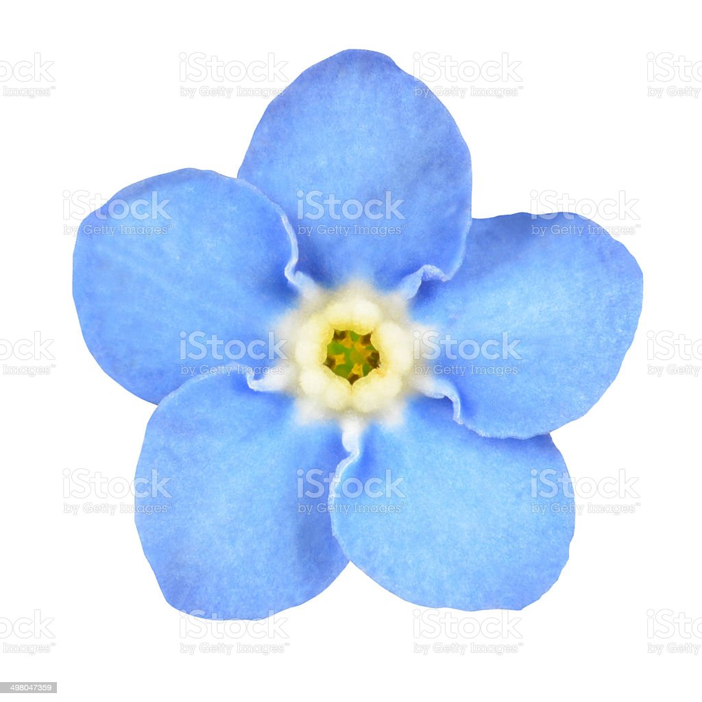Non ti scordar di me blu fiore isolato su bianco - foto stock