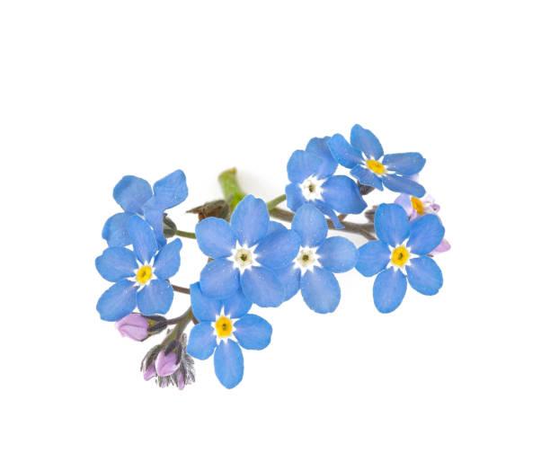 Vergessen-Me-nicht Blume isoliert auf weiß – Foto