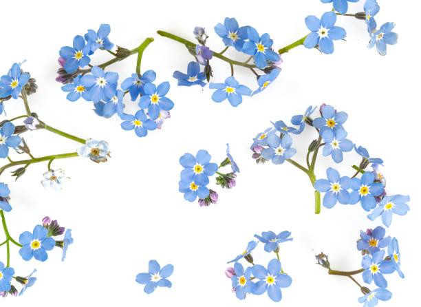 esqueça-me-não a flor isolada no branco - miosótis - fotografias e filmes do acervo