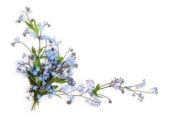 não s'esqueça-me-(ornamento floral - miosótis - fotografias e filmes do acervo