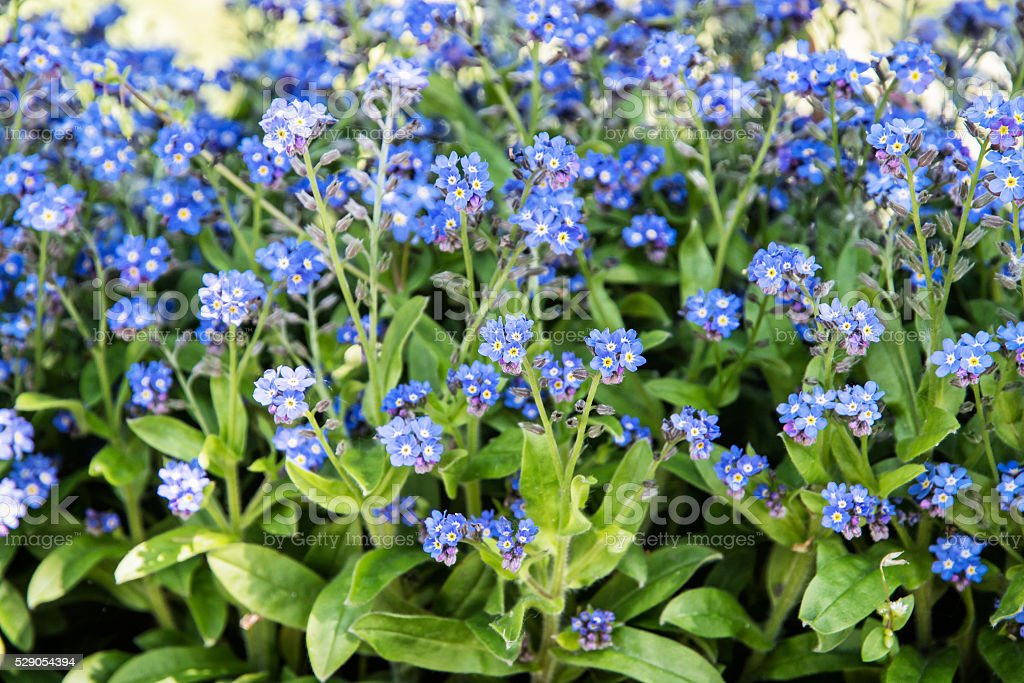 Forget-me-not flowers in the park, beauty in nature stock photo