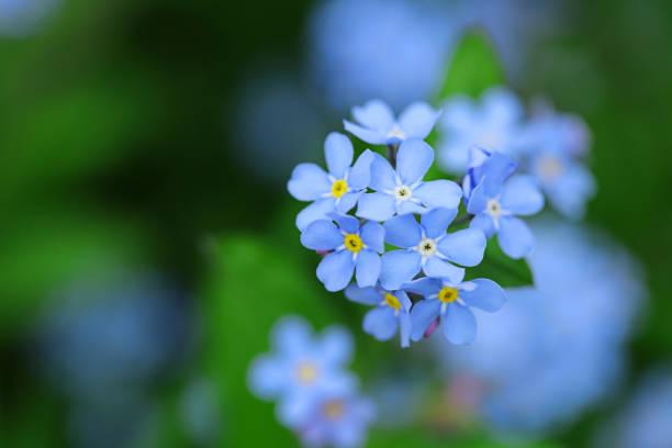 flores miosótis sobre um fundo verde e turva. flores da primavera azul - miosótis - fotografias e filmes do acervo
