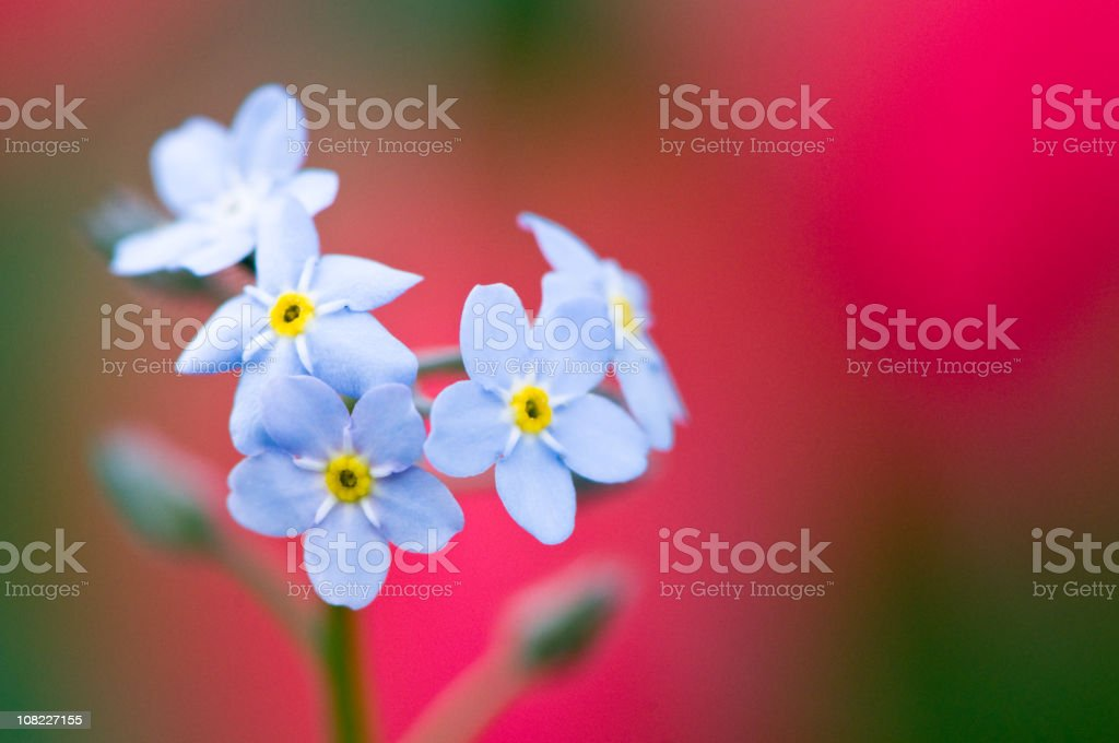 Forget-me-not flowers royalty-free stock photo