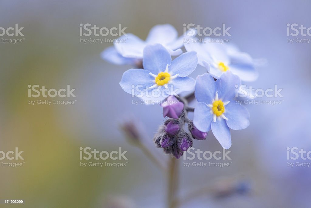 Forget-me-not Flowers  ( Myosotis sylvatica ). stock photo