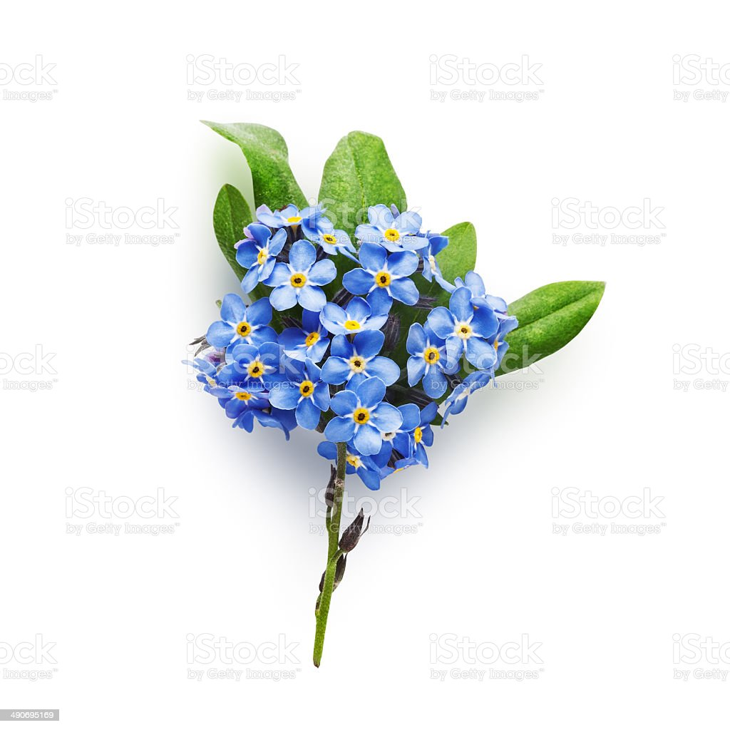 Forget-me-not flowers stock photo