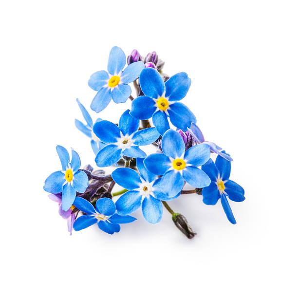 se não-me-flores - miosótis - fotografias e filmes do acervo
