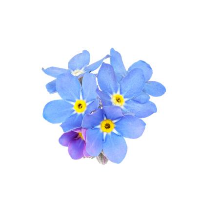 blue forget-me-not (myosotis) isolated on white