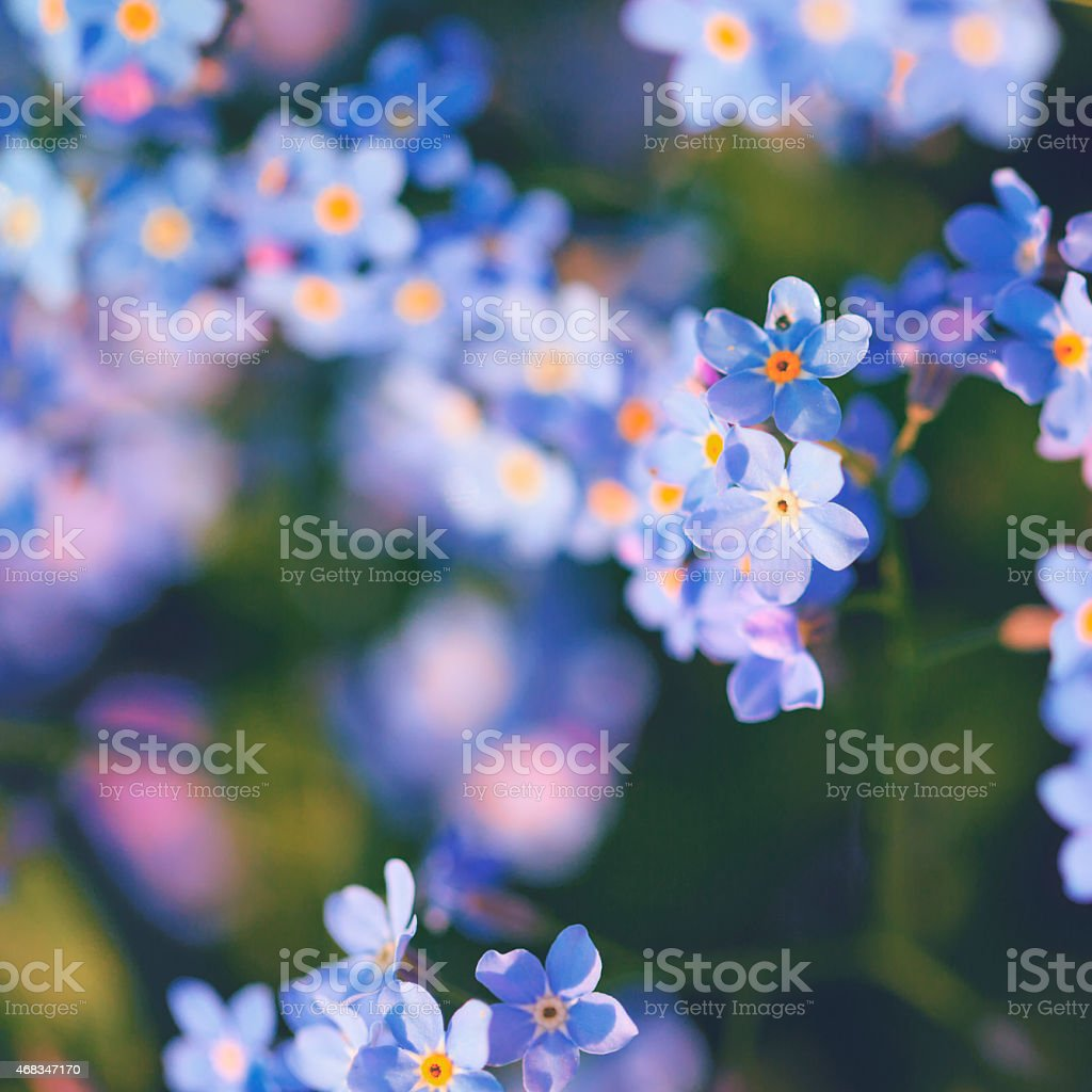 Forget-me-not [Myosotis sylvatica] in the sunlight royalty-free stock photo