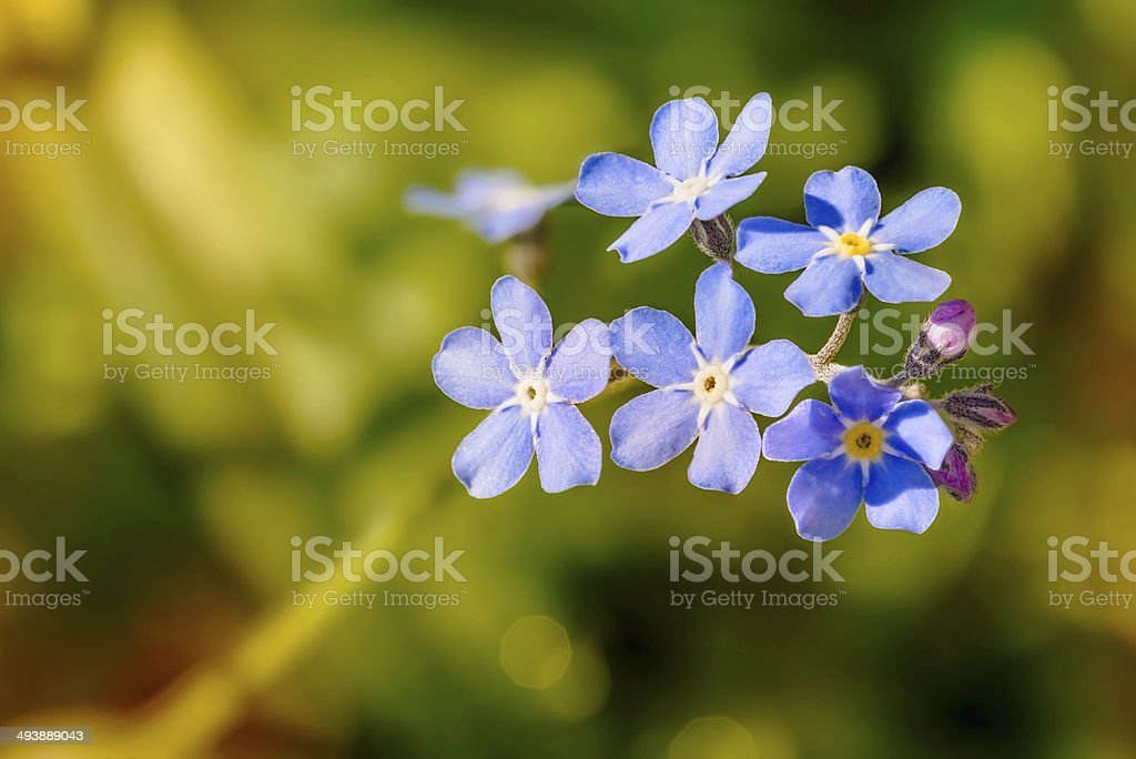Myosotis Sylvatica stock photo