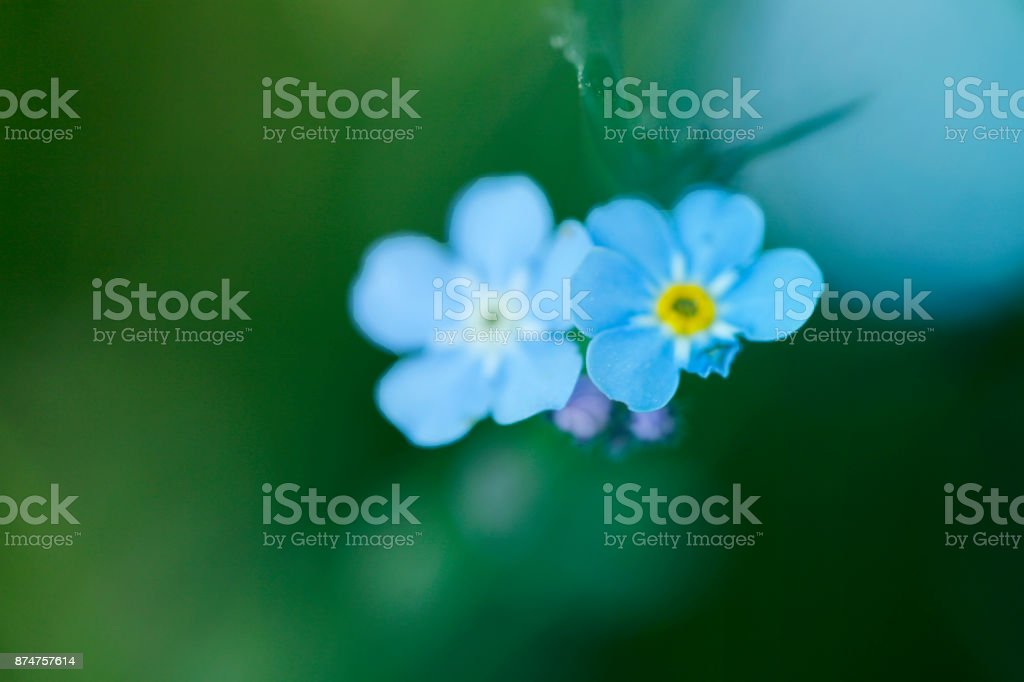 Forget-me-nots Defocus on blurred green background. Blurred natural background stock photo