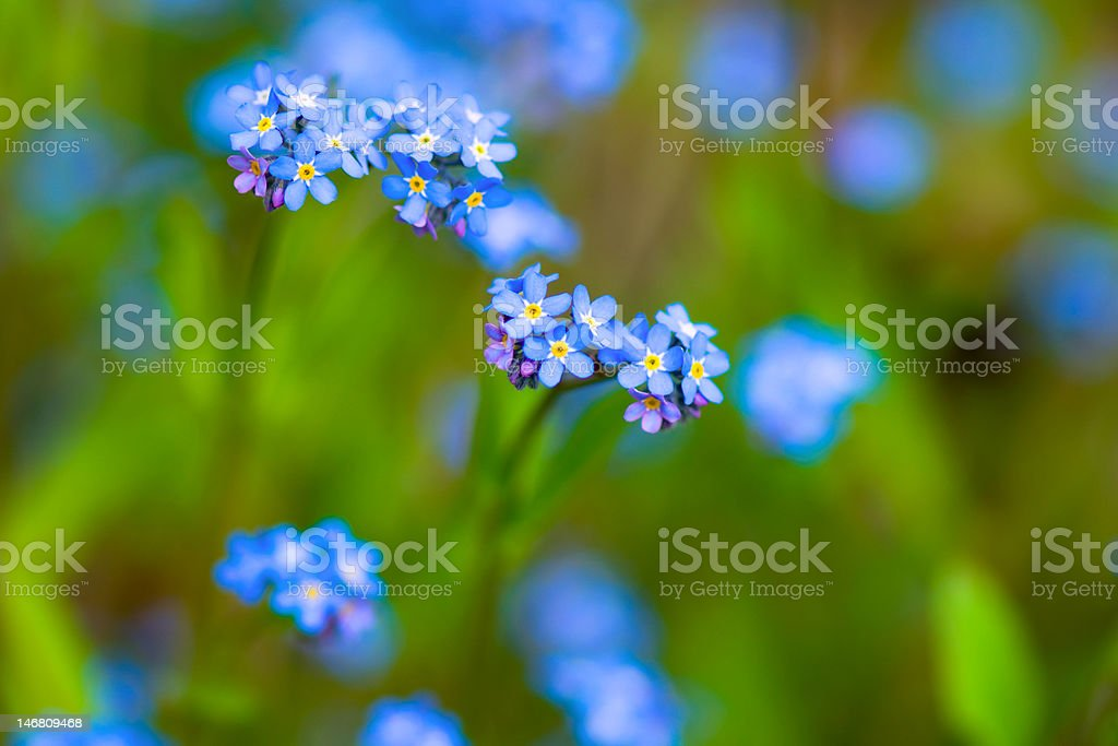 Forget-Me-Nots (Myosotis sylvatica) stock photo