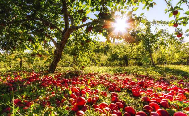 Forgotten Apples stock photo