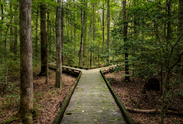 Fork in the road for major decision on wooden boardwalk in forest Concept of decision or choice using a wooden boardwalk in dense forest in Great Dismal Swamp fork in the road stock pictures, royalty-free photos & images