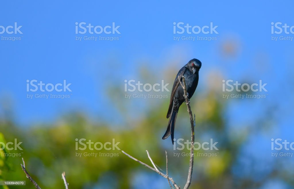Fork Tailed Drongo – Foto