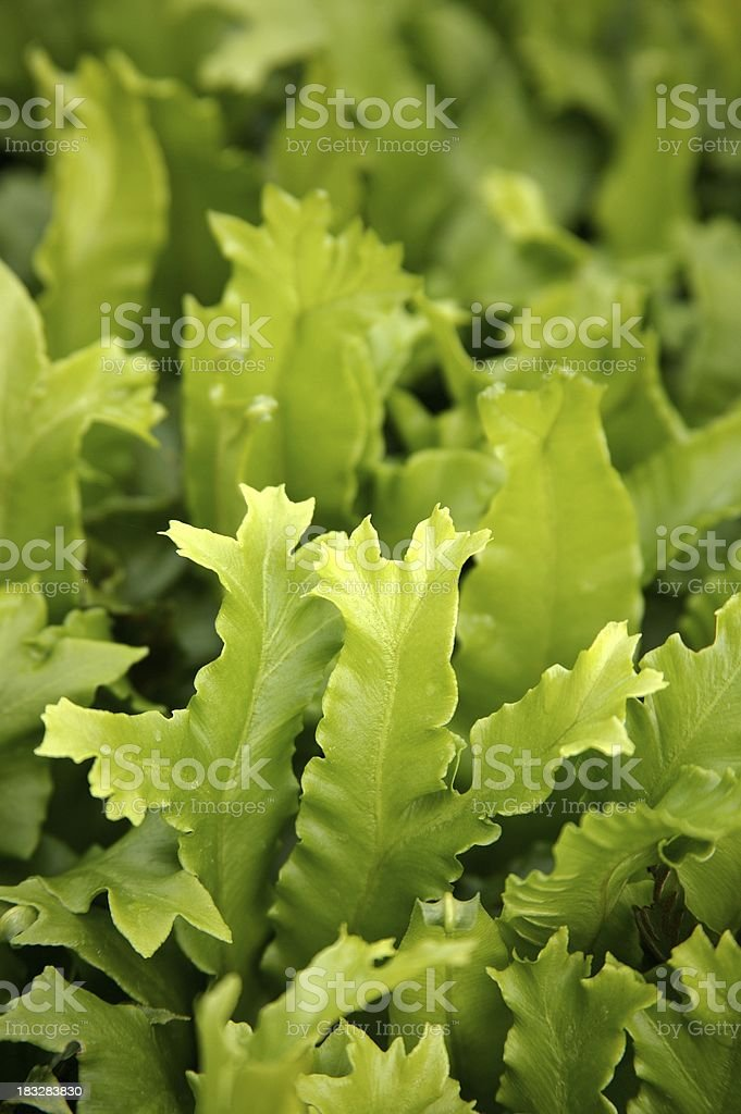 Forked fern stock photo