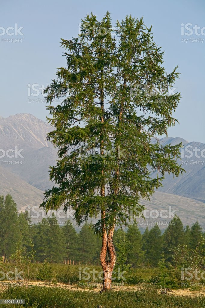 Forked larch at the edge of the forest. stock photo