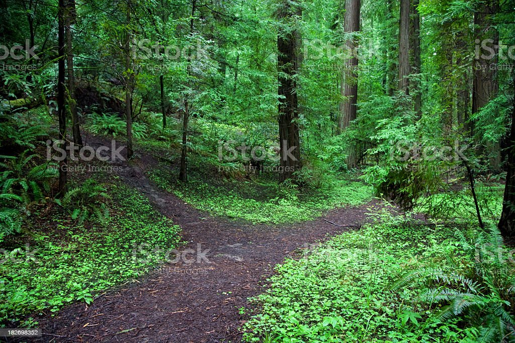 A forked path in a lush green forest  stock photo