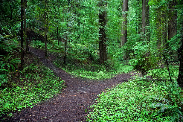 A forked path in a lush green forest  A fork in a path through a vibrant forest. fork in the road stock pictures, royalty-free photos & images