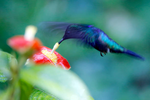 Fork-tailed Woodnymph Hummingbird stock photo