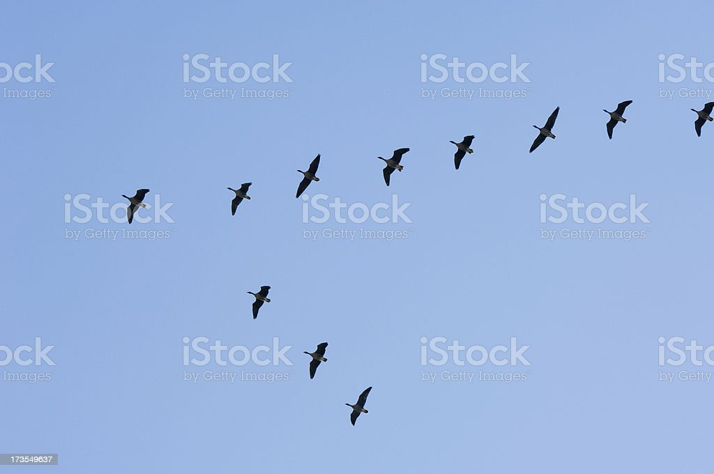 Formation of geese royalty-free stock photo