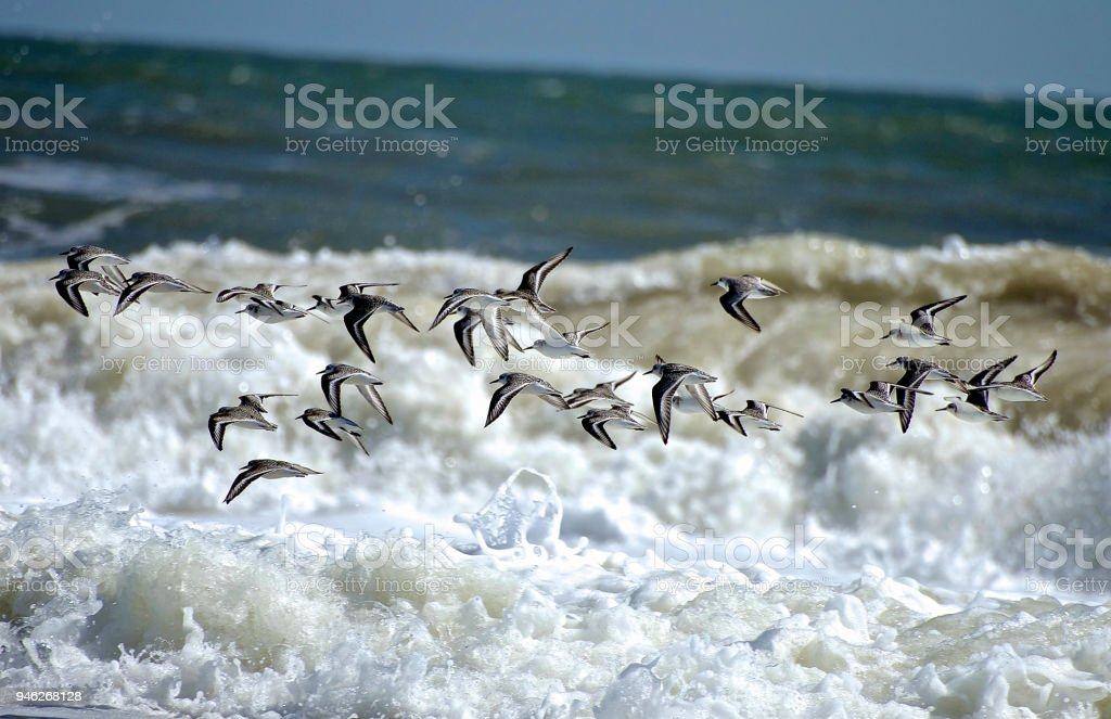 Formation of Shore Birds Darting over the Waves stock photo