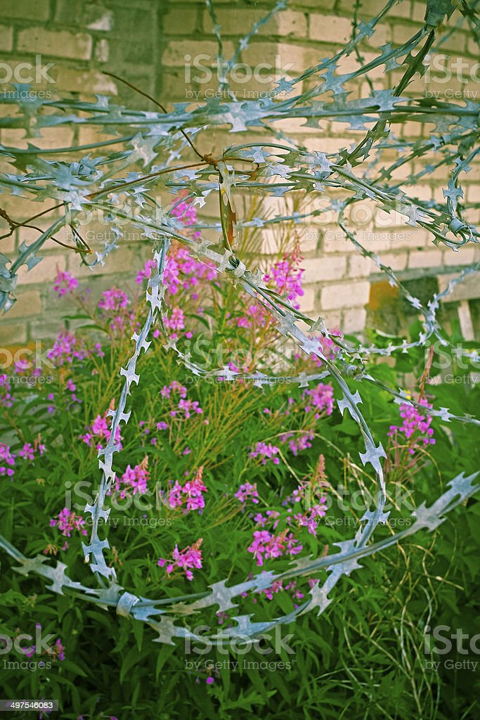 Former KGB prison razor wire tangle with pink flowers royalty-free stock photo