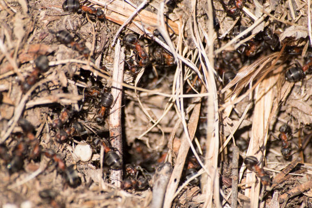 Formica rufa anthill, red wood ant anthill composition Formica rufa anthill, red wood ant anthill composition formic acid stock pictures, royalty-free photos & images